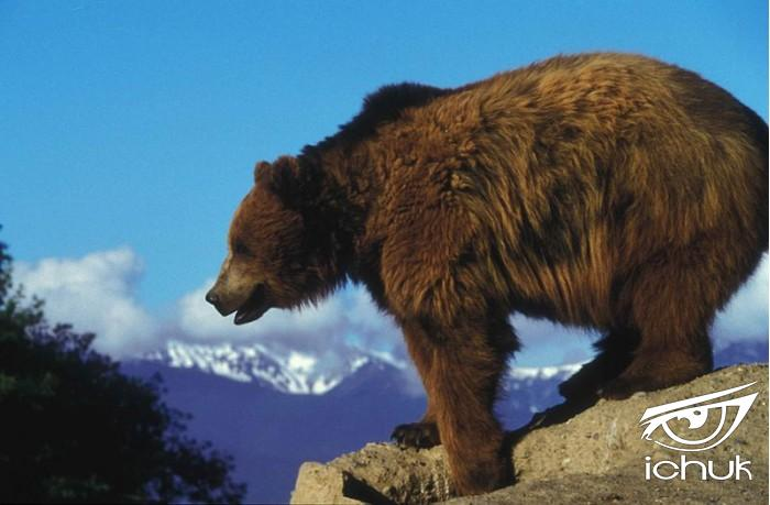 800px-Grizzly_bear_on_a_rock_overlooking.jpg