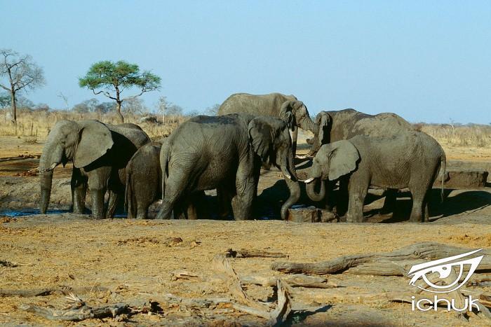 Herd_of_elephants_in_the_Hwange_national_park._Zimbabwe._-_panoramio.jpg